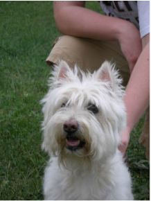 west highland white terrier reference photo for pet portrait